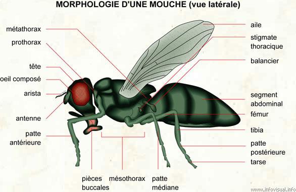 04020morphologie20mouche20lat.jpg