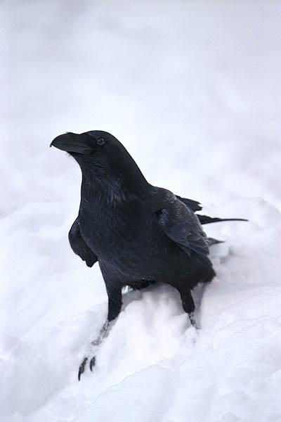 corbeau1.jpg